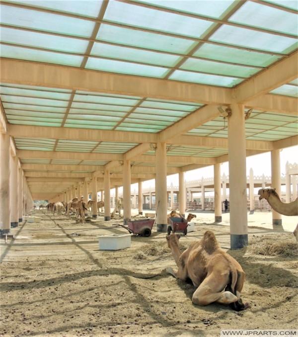 Granja de Camellos en Bahréin