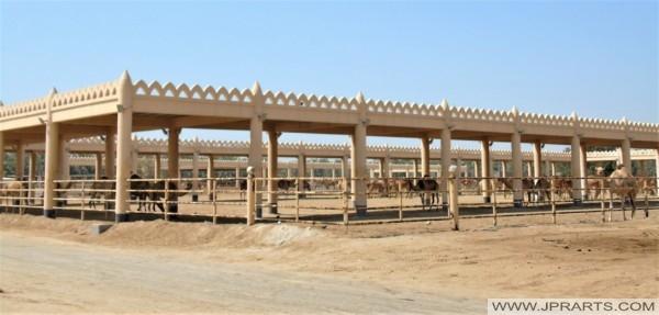 Royal Camel Farm in Bahrain