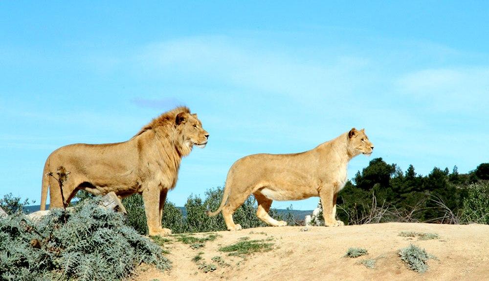Lion lionne