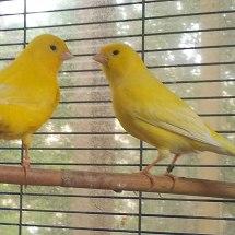 canari jaune