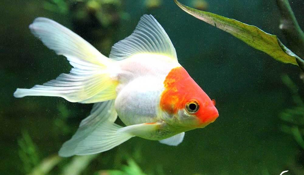 poisson rouge queue de voile