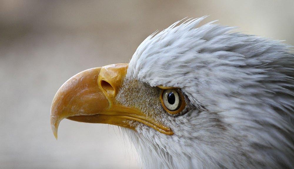 Pygargue à tête blanche, Les Aigles de Valmy, 2017