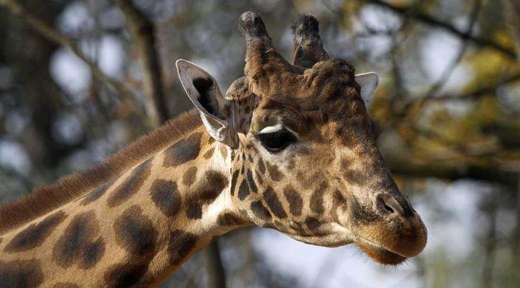 girafe, Touroparc, 2017