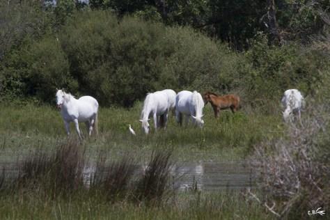 Chevaux de Camargue avec poulain de l'année, réserve du Petit Rhône à Sylvéréal (Vauvert, Gard)