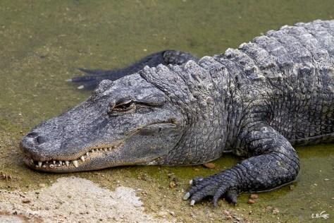 Alligator, Le Pal (Allier), juillet 2019