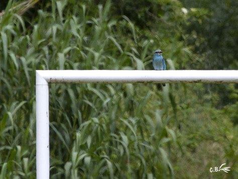 Rollier sur les cages d'un terrain de foot, parc des Aigrettes, Vauvert, Gard, mai 2019