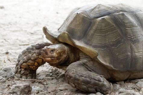 tortue sillonnée, La vallée des tortues (Sorède), août 2017