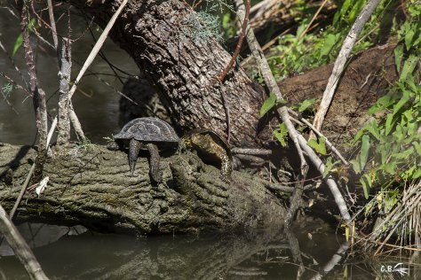 Deux tortues Cistude, réserve naturelle du Scamandre, Vauvert, Gard, août 2019