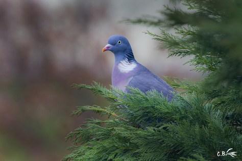Pigeon ramier, Bourgogne, mars 2019