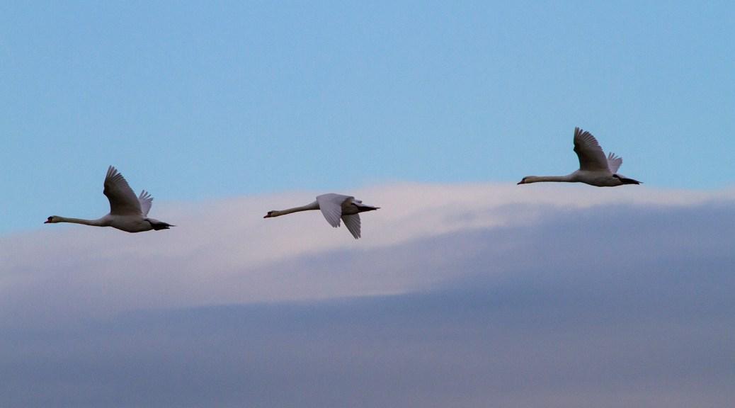 Trois cygnes en vol, réserve naturelle du Scamandre, Vauvert (Gard), décembre 2019