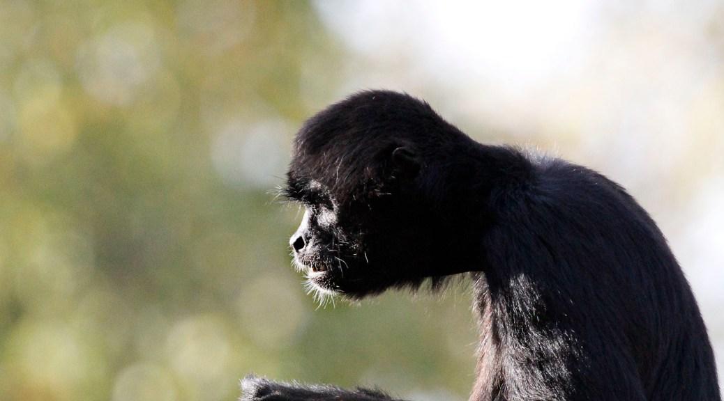 Atèle noir de Colombie, Touroparc zoo, novembre 2017