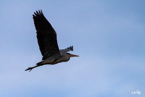 Héron cendré en vol, réserve naturelle du Scamandre, Vauvert (Gard), décembre 2019