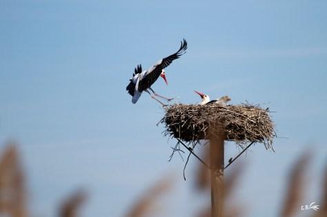 deux cigognes sur leur nid