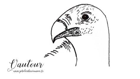 Coloriage animaux : le vautour