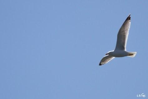 Goéland en vol, La Grande Motte (34), mai 2021