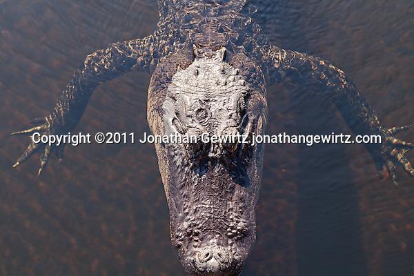 An American alligator (Alligator mississippiensis) seen from above as it floats in a slough in Everglades National Park. (Copyright 2011 Jonathan Gewirtz jonathan@gewirtz.net)