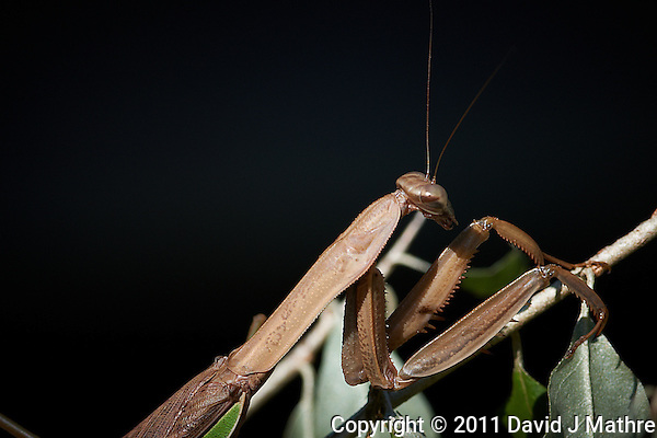 Brown Praying Mantis. Autumn Backyard Nature in New Jersey. Image taken with a Nikon D3x and 300 mm f/2.8 VR lens (ISO 100, 300 mm, f/8, 1/250 sec). (David J Mathre)
