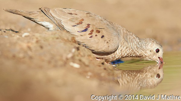 Common Ground Dove Drinking at Dos Vandas Ranch in Southern Texas. Image taken with a Nikon D800 camera and 400 mm f/2.8 lens (ISO 250, 400 mm, f/4, 1/2000 sec). (David J Mathre)