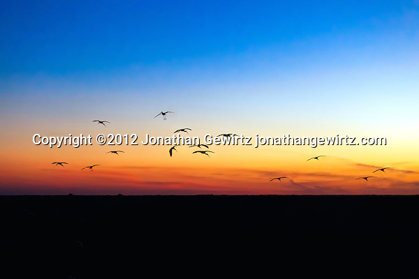 Silhouettes of a flock of American White Ibis (Eudocimus albus) as they arrive at their evening roosts in the Shark Valley section of Everglades National Park, Florida. (© Jonathan Gewirtz, jonathan@gewirtz.net)