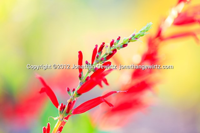 Red blooms on the branches of a flowering plant. (© 2012 Jonathan Gewirtz / jonathan@gewirtz.net)