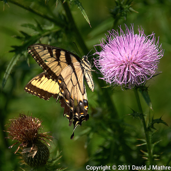 Yellow Swallowtail Butterfly on Thistle Bloom. Sourland Mountain Preserve, Summer Nature in New Jersey. Image taken with a Nikon D700 and 28-300 mm VR lens (ISO 200, 300 mm, f/5.6, 1/2000 sec). Raw image processed with Capture One Pro 6, Nik Define, and Photoshop CS5. (David J Mathre)