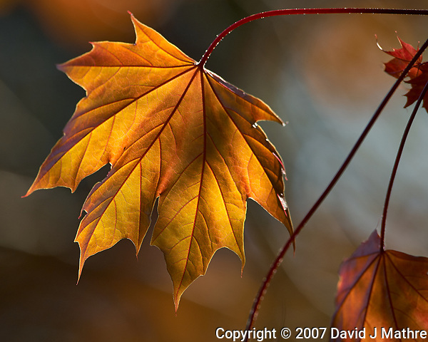 Spring Afternoon Maple Leaf. Image taken with a Nikon D2xs and 300 mm f/2.8 VR lens (ISO 100, 300 mm, f/5.3, 1/125 sec). (David J Mathre)