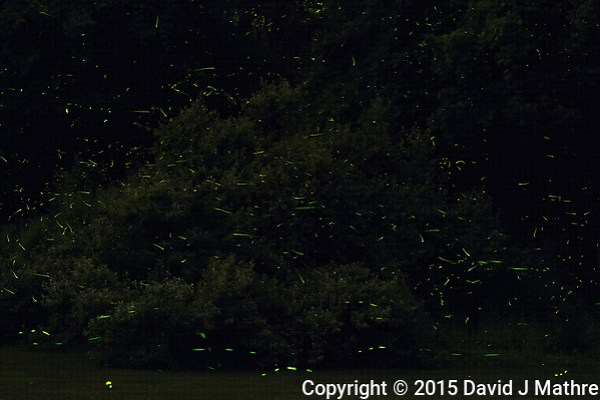 Firefly Trails. Composite of images taken with a Nikon D810a camera and 200 mm f/2 VR lens (ISO 3200, 200 mm, f/8, 60 sec). Raw images processed with Capture One Pro 8, and Photoshop CC. (David J Mathre)