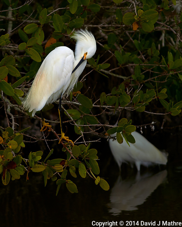 Snowy Egret Preening in a Mangrove Tree at Merritt Island National Wildlife Refuge. Image taken with a Nikon Df camera and 300 mm f/4 lens (ISO 100, 300 mm, f/4, 1/1250 sec) (David J Mathre)