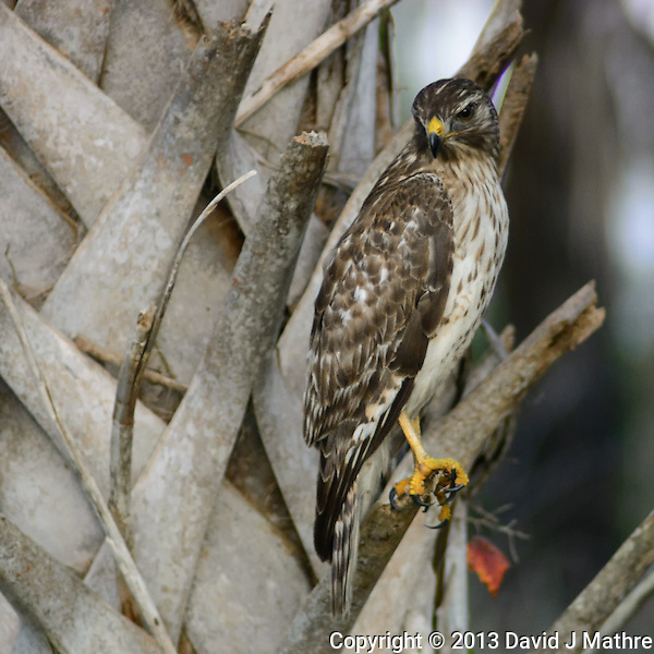 Hawk on a Palm Tree in Merritt Island National Wildlife Refuge. Image taken with a Nikon 1 V2 and 180 mm f/2.8D lens (ISO 800, 180 mm, f/2.8, 1/640 sec). FOV = 486 mm. (David J Mathre)
