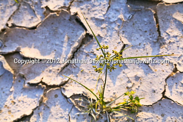 A young grass plant pushes up through hard, cracked ground. (© 2012 Jonathan Gewirtz / jonathan@gewirtz.net)