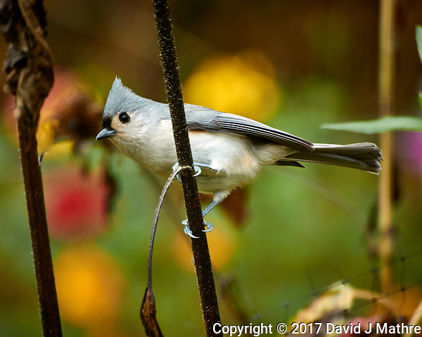 Tufted Titmouse looking for sunflower seeds. Autumn Backyard Nature in New Jersey. Image taken with a Nikon 1 V3 camera and 70-300 mm VR telephoto zoom lens (ISO 200, 300 mm, f/5.6, 1/40 sec). (David J Mathre)