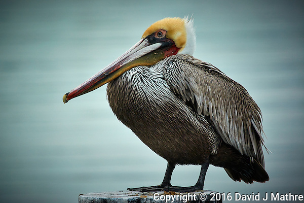 Pelican on a Post Along the Harbor in San Diego, California. Nikon 1 V3 camera and 70-300 mm VR lens (ISO 200, 264 mm, f/5.6, 1/320 sec). Raw image processed with Capture One Pro, Focus Magic, and Photoshop CC. (David J Mathre)