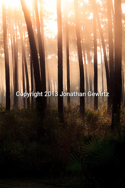 Morning fog in the pine forest at Long Pine Key in Everglades National Park, Florida. WATERMARKS WILL NOT APPEAR ON PRINTS OR LICENSED IMAGES. (Jonathan Gewirtz   jonathan@gewirtz.net)