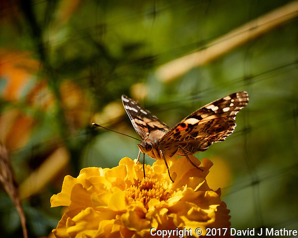 Painted Lady Butterfly on a Yellow Flower. Autumn Backyard Nature in New Jersey. Image taken with a Nikon 1 V3 camera and 70-300 mm VR telephoto zoom lens (ISO 160, 300 mm, f/5.6, 1/640 sec). (David J Mathre)