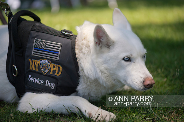 Westbury, New York, USA. June 12, 2016. MISKA, an NYPD (New York Police Department) Service Dog trained to help American veterans, attends the Antique and Collectible Auto Show at the 50th Annual Spring Meet at Old Westbury Gardens, in the Gold Coast of Long Island. Miska is part Husky and part German Shepherd, and has light blue eyes and white fur, and was with Pastor Green, of U.S. Marines, from Queens. The car show was sponsored by Greater New York Region, GNYR, Antique Automobile Club of America, AACA. (Ann Parry/Ann Parry, ann-parry.com)