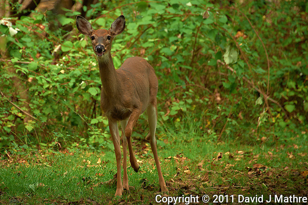 Young Doe After Losing Her Spots. Image Taken with a Nikon D700 and 28-300 mm VR lens (ISO 500, 300 mm, f/5.6, 1/500 sec). (David J Mathre)