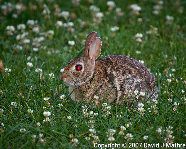Devil rabbit with a red-eye in the clover. Late-spring backyard nature in New Jersey. Image taken with a Nikon D2xs camera and 70-200 mm f/2.8 lens + 1.4 TC-E II teleconverter and SB-800 flash (ISO 100, 280 mm, f/4, 1/60 sec) (David J Mathre)