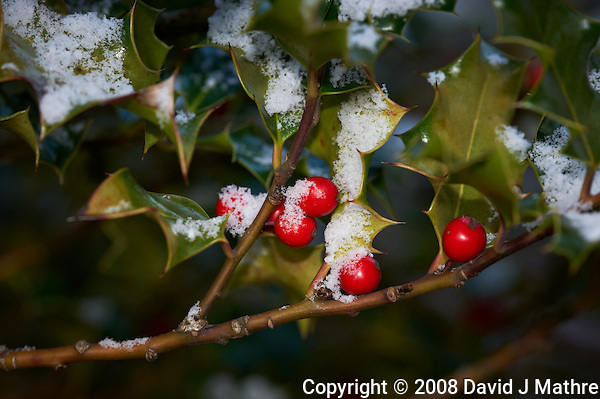 Red Holly Berries with Fresh Snow. Winter in New Jersey. Image taken with a Nikon D3 and 200 mm f/4 macro lens (ISO 200, f/8, 1/60 sec) (David J Mathre)
