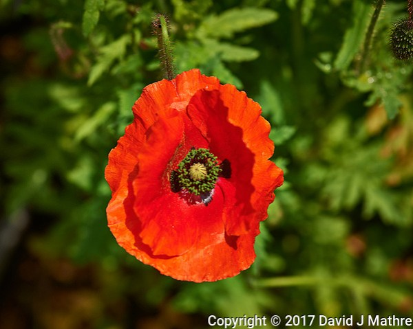 New red poppy flower in my garden. Backyard spring nature in New Jersey. Image taken with a Nikon Df camera and 105 mm f/2.8 VR macro lens (ISO 100, 105 mm, f/7, 1/320 sec). (David J Mathre)