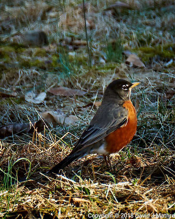 Early American Robin scout checking out if winter is over. Image taken with a Fuji X-T1 camera and 100-400 mm OIS lens (ISO 200, 400 mm, f/5.6, 1/80 sec). (David J Mathre)