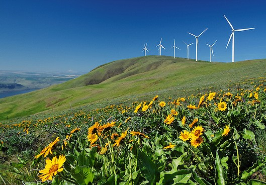 Balsamroot and wind turbines, Haystack Butte, Columbia Hills, Klickitat County, Washington, USA
