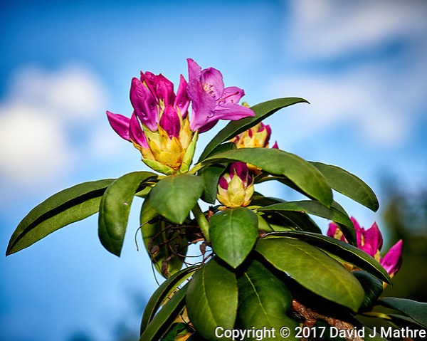 Rhododendron blooms. Backyard spring nature in New Jersey. Image taken with a Nikon Df camera and 105 mm f/2.8 VR macro lens (ISO 100, 105 mm, f/8, 1/125 sec). (David J Mathre)