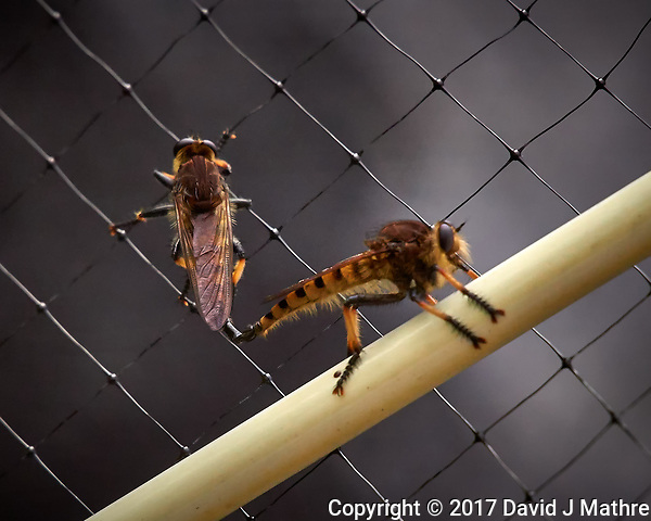 Pair of Robber Flies mating. Backyard summer nature in New Jersey. Image taken with a Leica T camera and 55-135 mm zoom lens (ISO 1250, 135 mm, f/5.6, 1/400 sec). (David J Mathre)