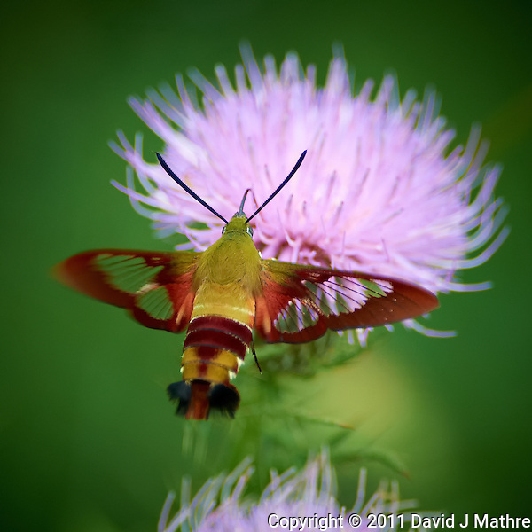 Clearwing Hummingbird Moth on Thistle Bloom. Sourland Mountain Preserve, Summer Nature in New Jersey. Image taken with a Nikon D3s and 300 mm f/2.8 VR lens + TC-E III 20 teleconverter (ISO 1600, 600 mm, f/5.6, 1/500 sec). Raw image processed with Capture One Pro 6, Nik Define, and Photoshop CS5. (David J Mathre)