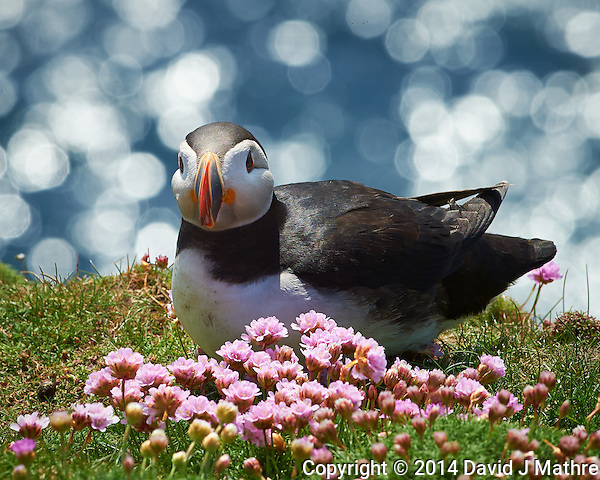 Puffin and Pink Flowers at the Lighthouse in Lerwick, Scotland. Gone to See Europe -- Semester at Sea Spring 2014 Enrichment Voyage. Image taken with a Nikon Df Camera and 300 mm f/2.8 VR lens (ISO 320, 300 mm, f/16, 1/250 sec). Raw image processed with Capture One Pro, Focus Magic, and Photoshop CC 2014. (David J Mathre)