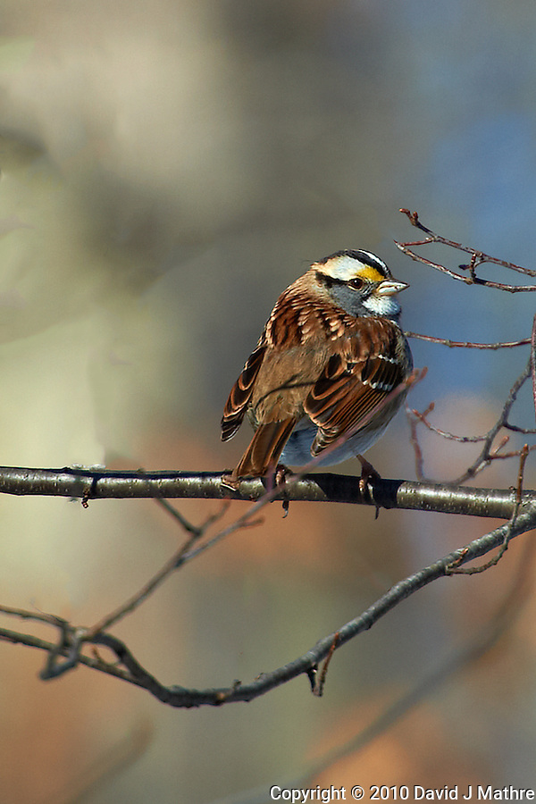 White-throated Sparrow trying to keep warm. Nikon D3s and 70-200 mm VRII with TC-E 20 teleconverter (ISO 200, 400 mm f/8, 1/640 sec) (David J Mathre)