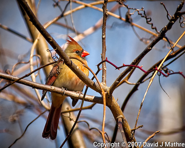 Inquisitive female Northern Red Cardinal perched in a sunny tree in my backyard. Winter nature in New Jersey. Image taken with a Nikon D2xs camera and 80-400 mm VR lens (ISO 400, 400 mm, f/5.6, 1/750 sec). (David J Mathre)