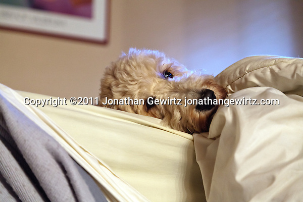 A shaggy dog lies in bed with only its head outside of the covers. (Jonathan Gewirtz)