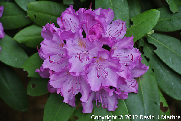 Cluster of Rhododendron Flowers. Image taken with a Nikon 1 V1 and 30-100 mm VR lens (ISO 400, 41.2 mm, f/4, 1/60 sec). Out of the camera imbedded jpg image. (David J Mathre)