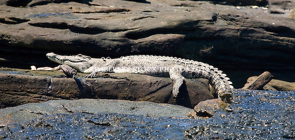 A saltwater crocodile basks on rocks in Camden Sound after feasting on a dead whale. (Annabelle Sandes/© Annabelle Sandes | Kimberley Media 2010)